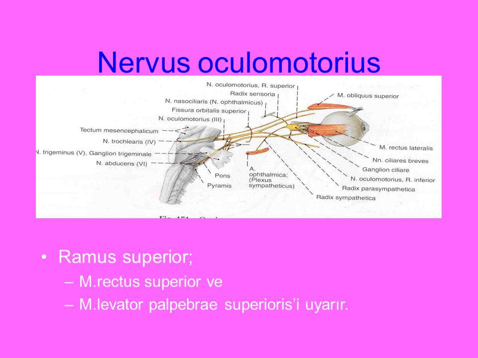 Nervus oculomotorius Ramus superior; M.rectus superior ve