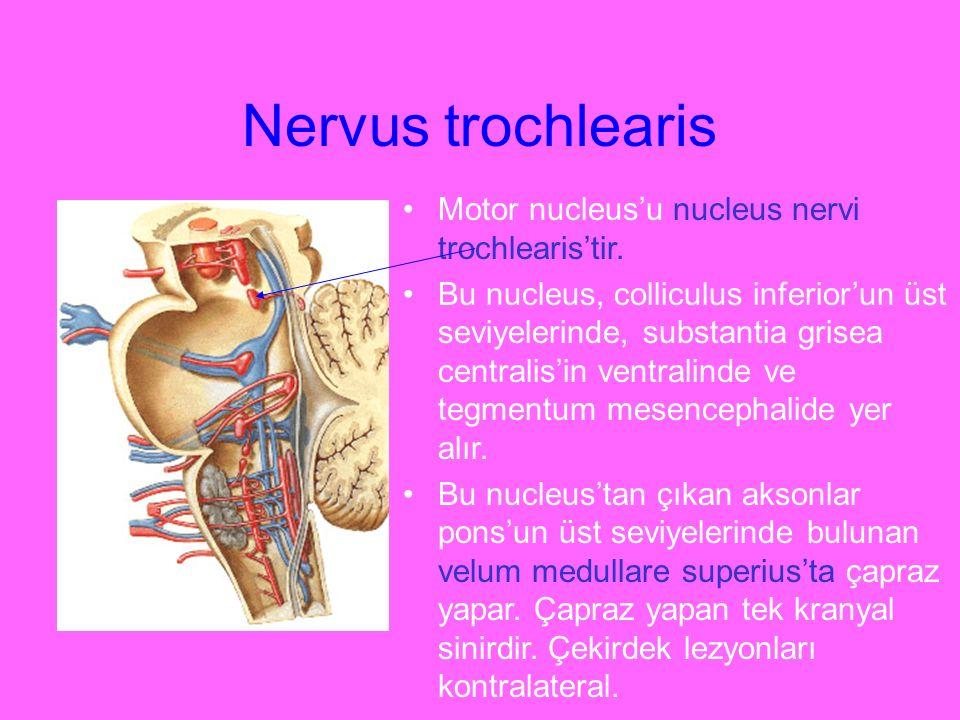 Nervus trochlearis Motor nucleus'u nucleus nervi trochlearis'tir.