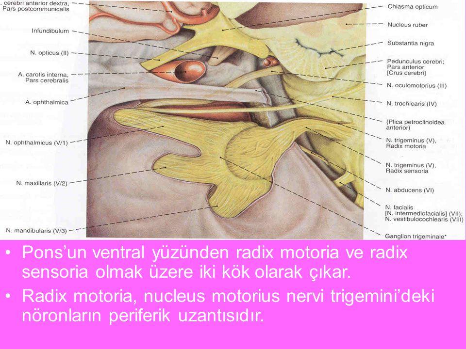 N.trigeminus Pons'un ventral yüzünden radix motoria ve radix sensoria olmak üzere iki kök olarak çıkar.