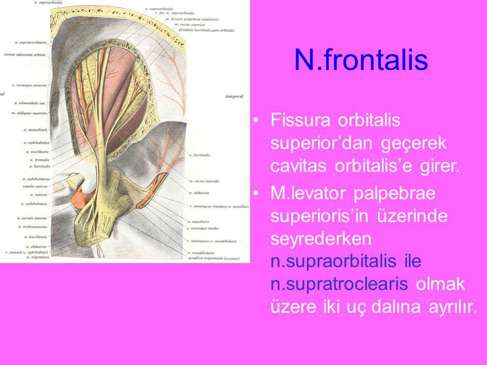 N.frontalis Fissura orbitalis superior'dan geçerek cavitas orbitalis'e girer.