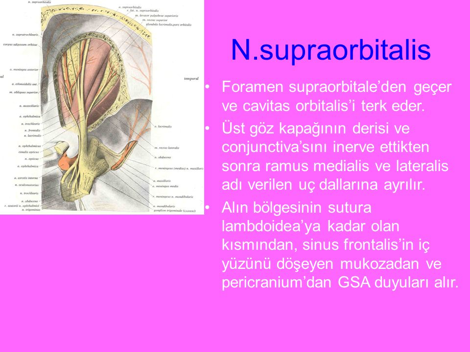 N.supraorbitalis Foramen supraorbitale'den geçer ve cavitas orbitalis'i terk eder.