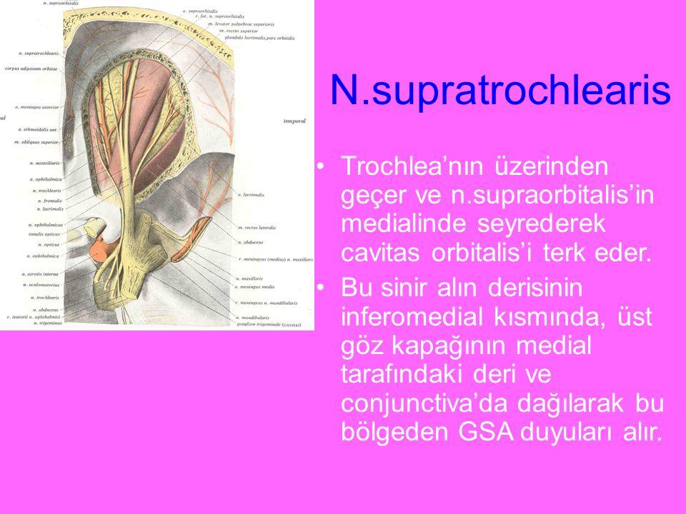 N.supratrochlearis Trochlea'nın üzerinden geçer ve n.supraorbitalis'in medialinde seyrederek cavitas orbitalis'i terk eder.