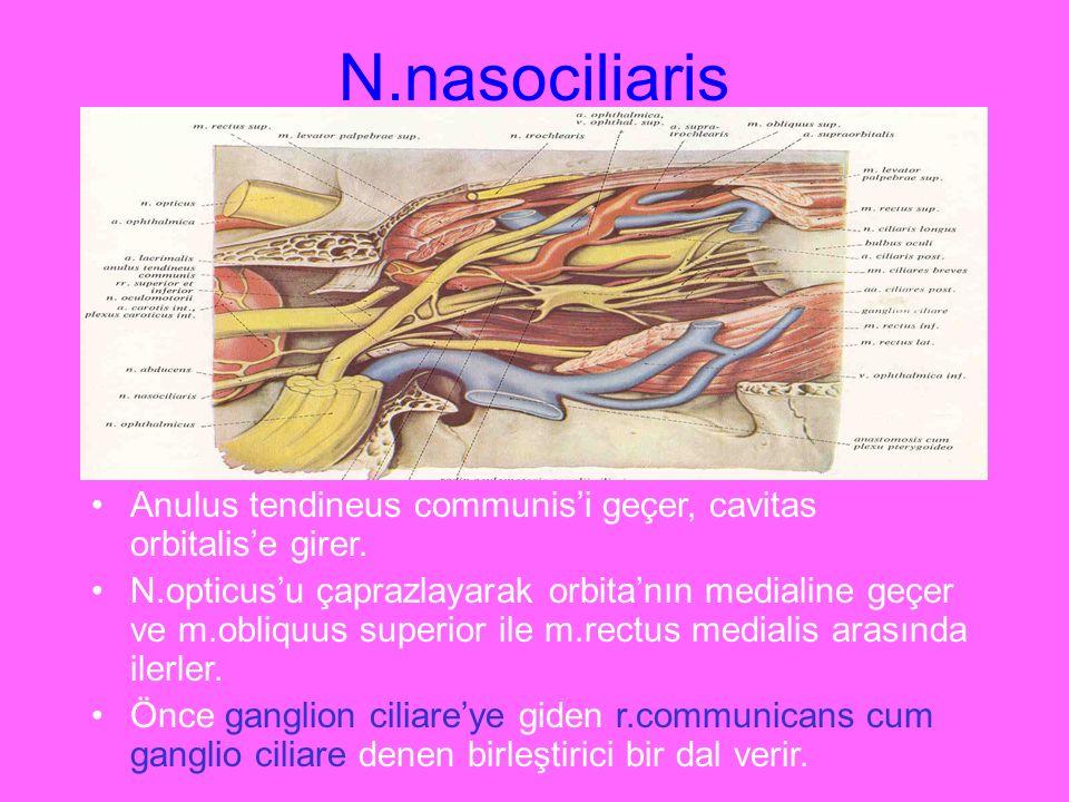 N.nasociliaris Anulus tendineus communis'i geçer, cavitas orbitalis'e girer.
