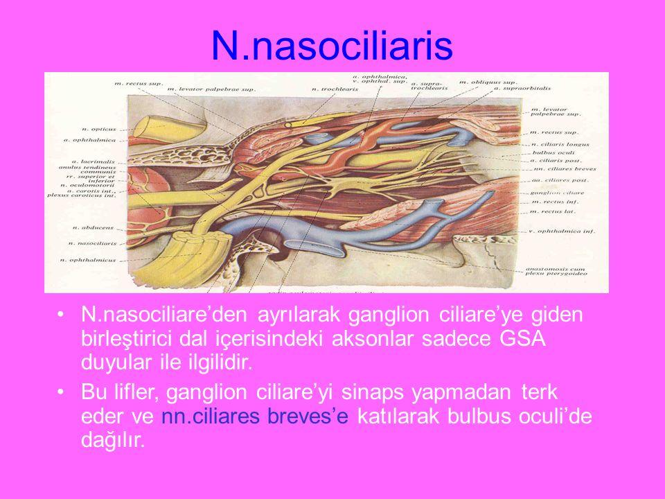 N.nasociliaris N.nasociliare'den ayrılarak ganglion ciliare'ye giden birleştirici dal içerisindeki aksonlar sadece GSA duyular ile ilgilidir.