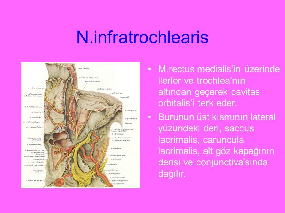 N.infratrochlearis M.rectus medialis'in üzerinde ilerler ve trochlea'nın altından geçerek cavitas orbitalis'i terk eder.