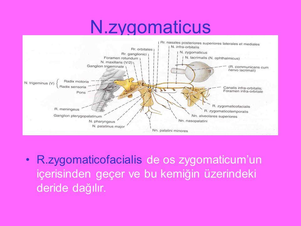 N.zygomaticus R.zygomaticofacialis de os zygomaticum'un içerisinden geçer ve bu kemiğin üzerindeki deride dağılır.