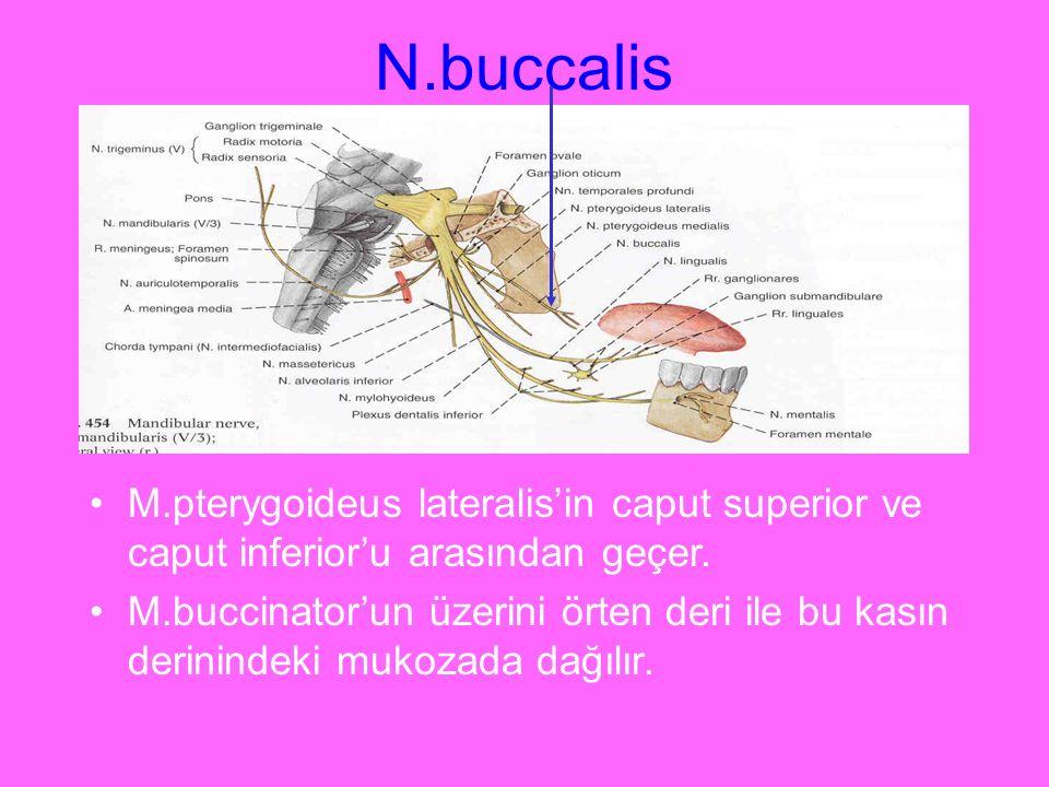 N.buccalis M.pterygoideus lateralis'in caput superior ve caput inferior'u arasından geçer.