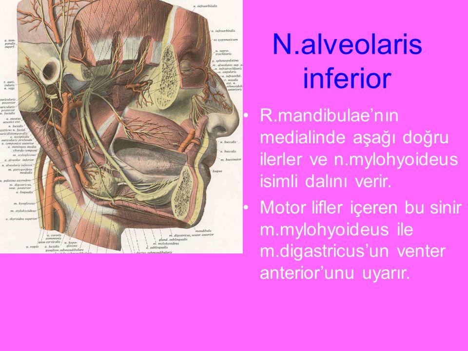 N.alveolaris inferior R.mandibulae'nın medialinde aşağı doğru ilerler ve n.mylohyoideus isimli dalını verir.