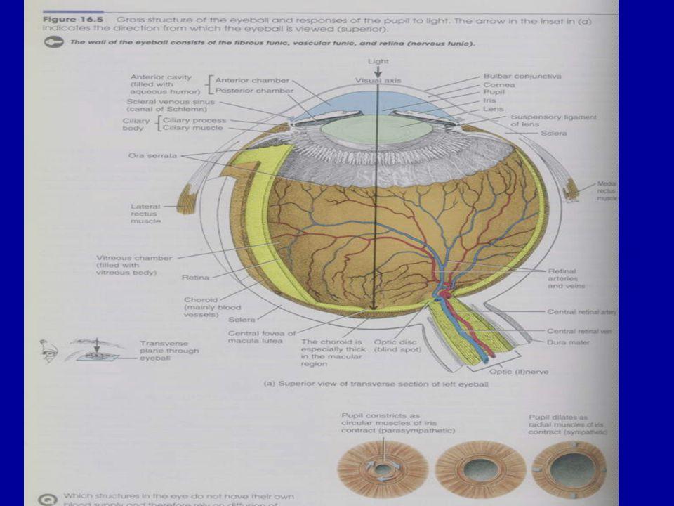 Şekil 4.19. Gözün yapısı ve pupil.