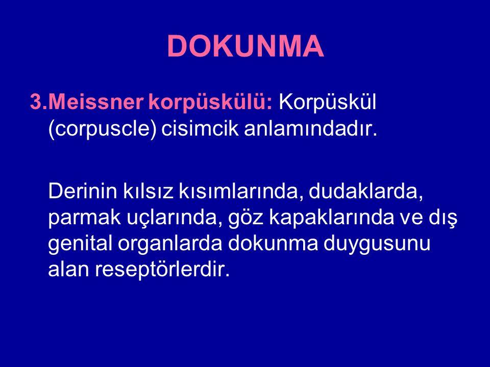 DOKUNMA 3. Meissner korpüskülü: Korpüskül (corpuscle) cisimcik anlamındadır.