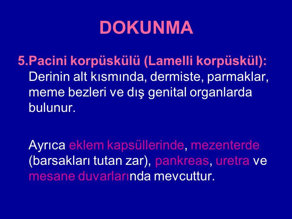 DOKUNMA 5. Pacini korpüskülü (Lamelli korpüskül): Derinin alt kısmında, dermiste, parmaklar, meme bezleri ve dış genital organlarda bulunur.