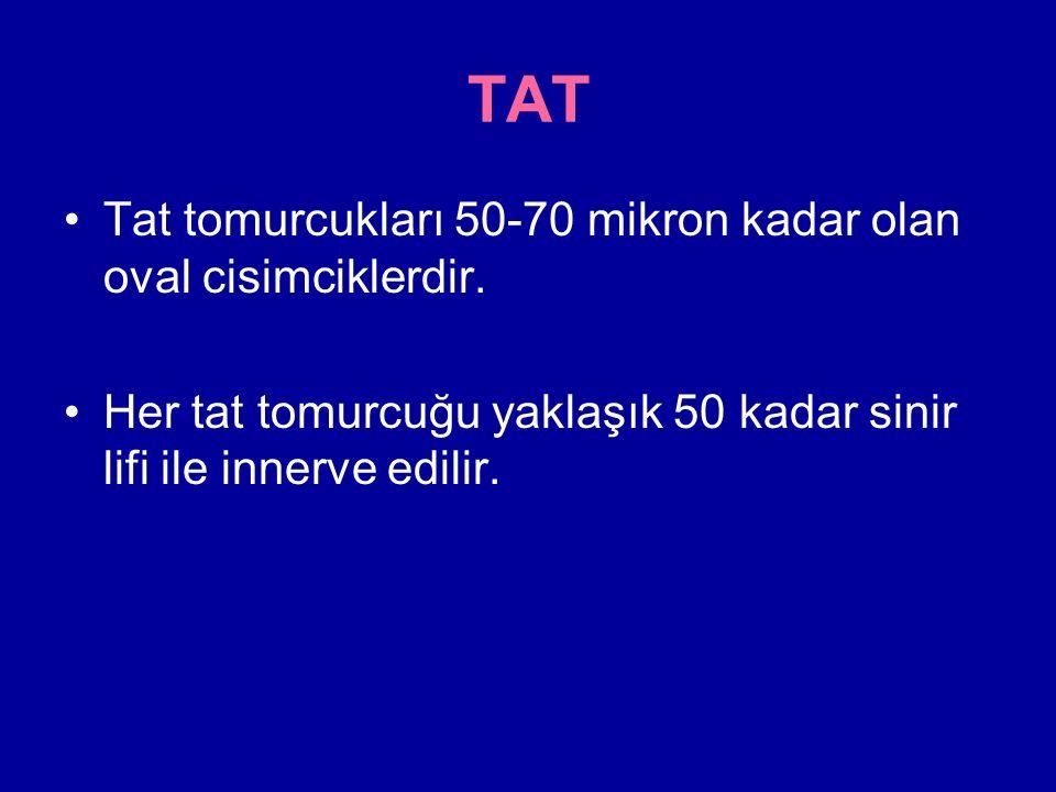 TAT Tat tomurcukları 50-70 mikron kadar olan oval cisimciklerdir.