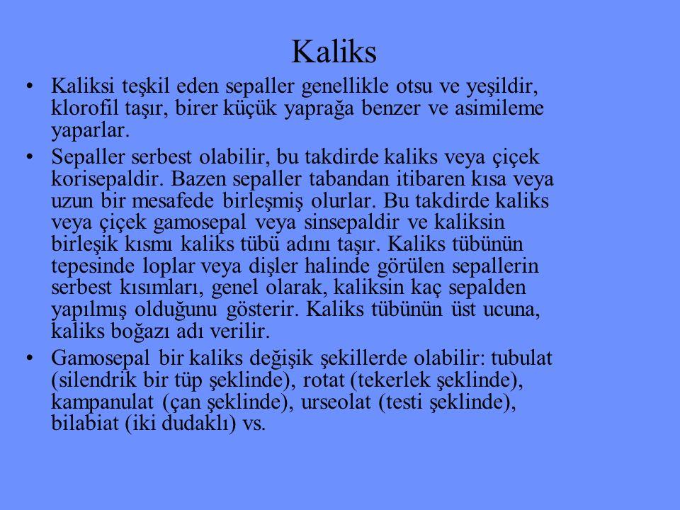 Kaliks Kaliksi teşkil eden sepaller genellikle otsu ve yeşildir, klorofil taşır, birer küçük yaprağa benzer ve asimileme yaparlar.