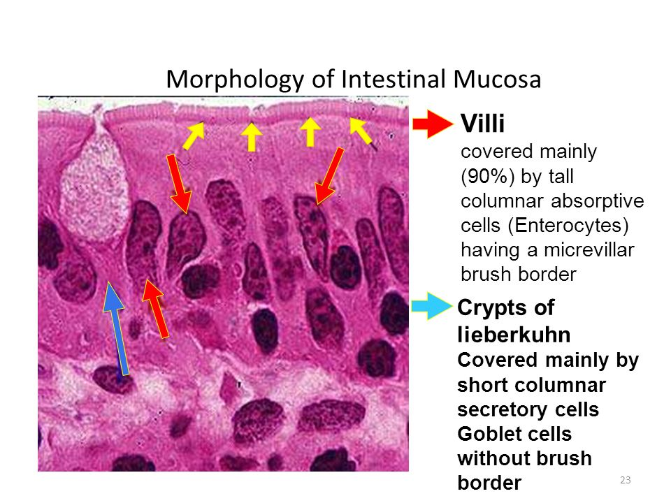 Morphology of Intestinal Mucosa