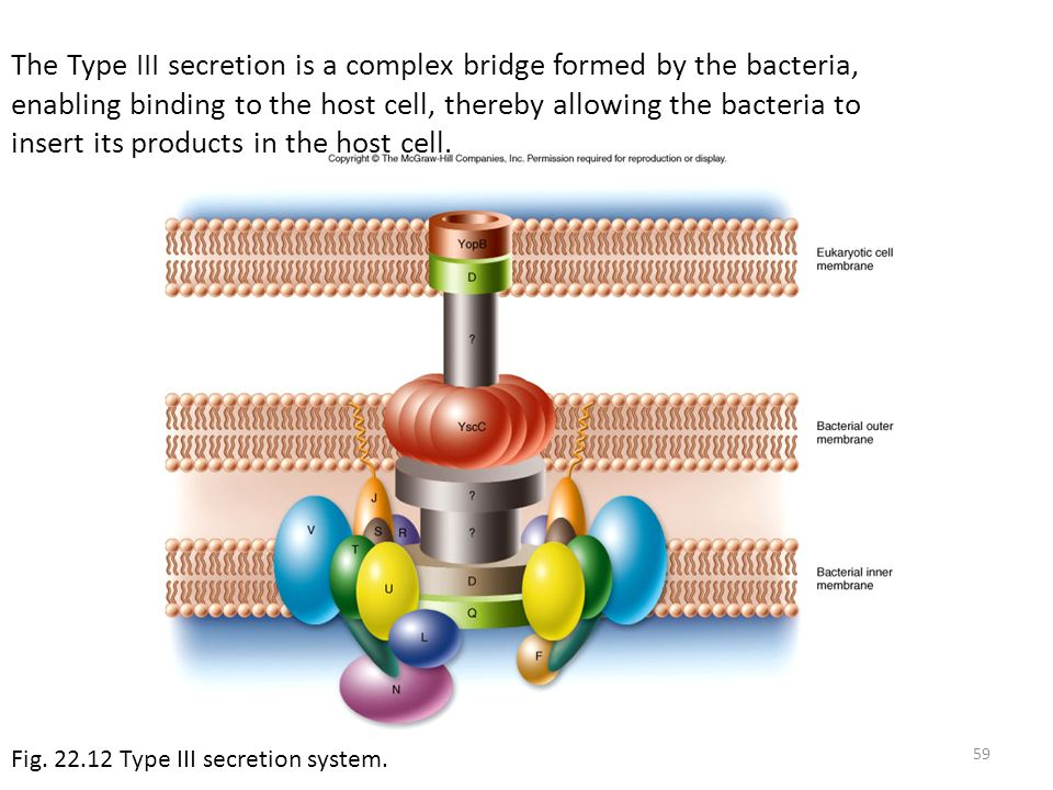 The Type III secretion is a complex bridge formed by the bacteria, enabling binding to the host cell, thereby allowing the bacteria to insert its products in the host cell.