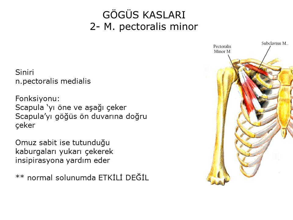 GÖGÜS KASLARI 2- M. pectoralis minor Siniri n.pectoralis medialis