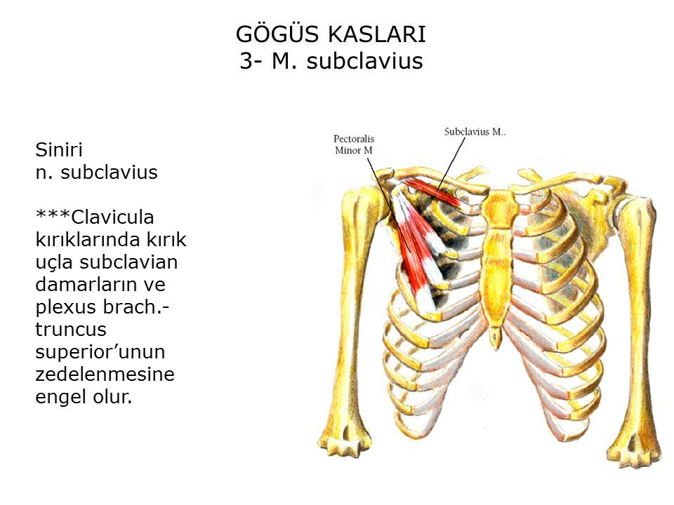 GÖGÜS KASLARI 3- M. subclavius Siniri n. subclavius