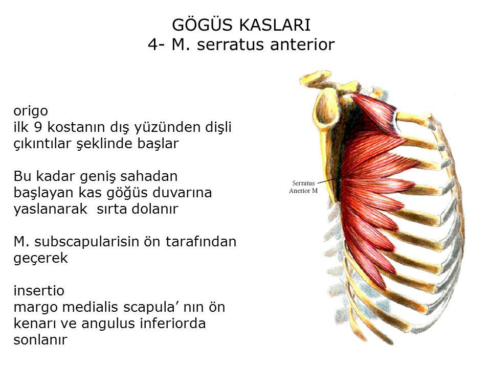 GÖGÜS KASLARI 4- M. serratus anterior origo