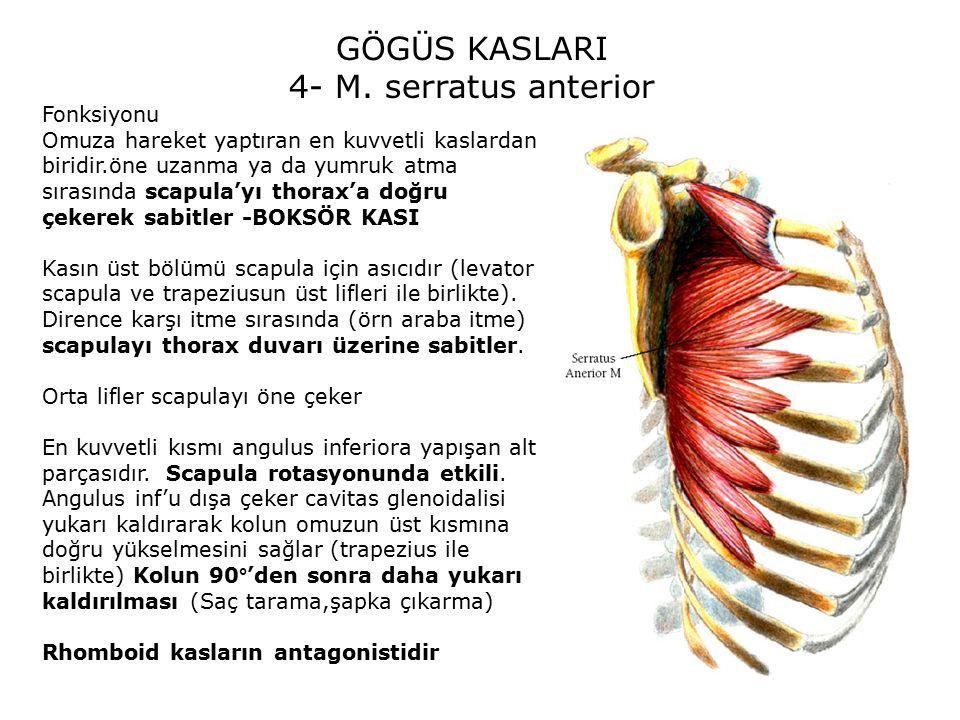 GÖGÜS KASLARI 4- M. serratus anterior Fonksiyonu