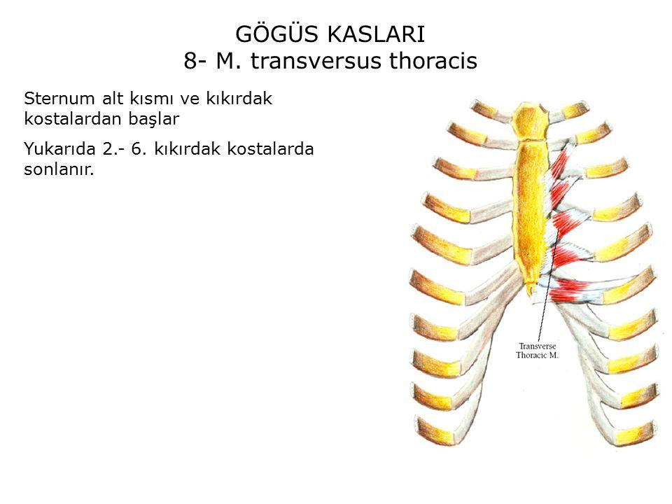 8- M. transversus thoracis