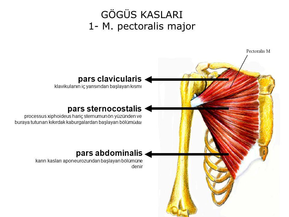 g u00d6 u011e u00dcs kaslari  musculi thoracis  levent sarikcio u011elu