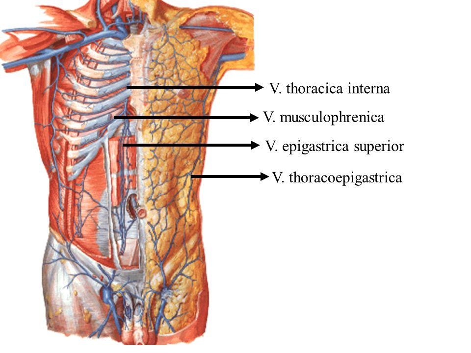 V. thoracica interna V. musculophrenica V. epigastrica superior V. thoracoepigastrica