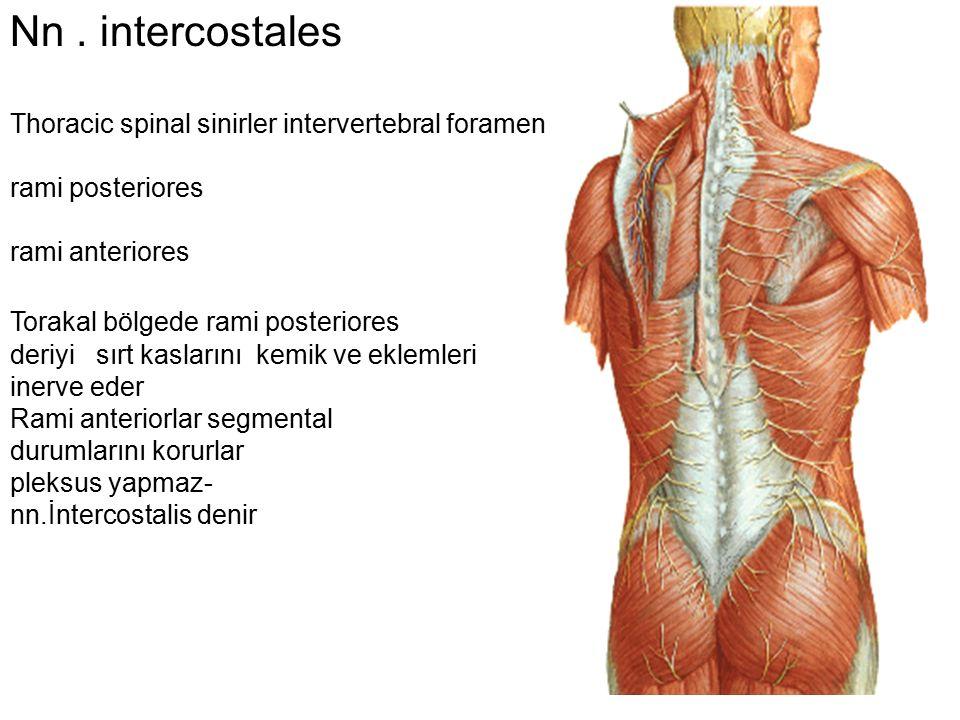 Nn . intercostales Thoracic spinal sinirler intervertebral foramen
