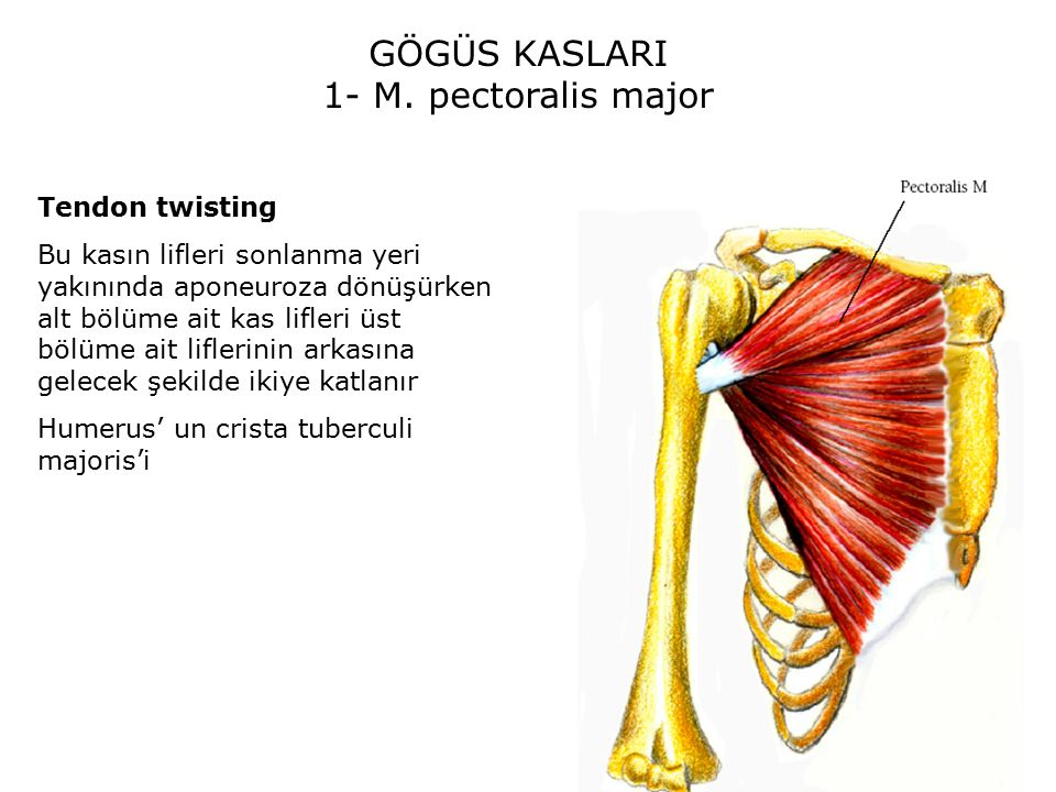 GÖGÜS KASLARI 1- M. pectoralis major Tendon twisting
