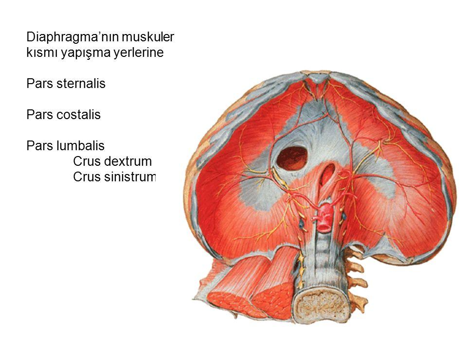Diaphragma'nın muskuler kısmı yapışma yerlerine