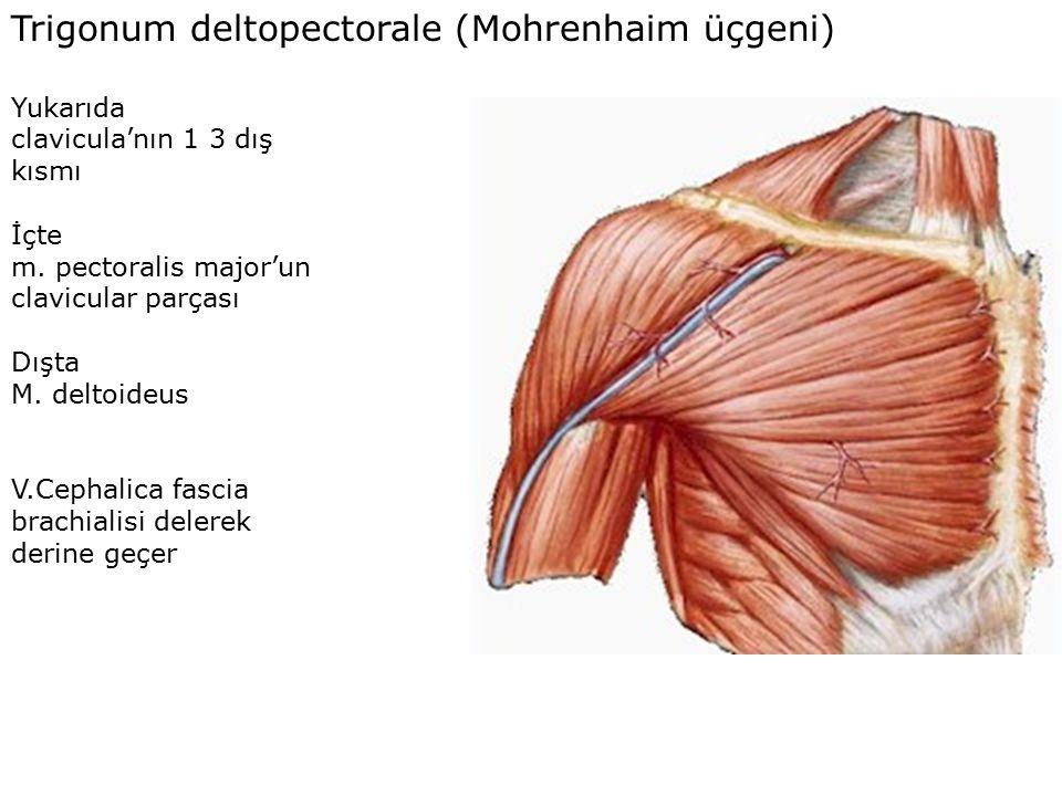 Trigonum deltopectorale (Mohrenhaim üçgeni)