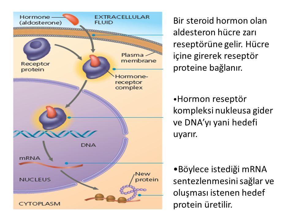 Bir steroid hormon olan aldesteron hücre zarı reseptörüne gelir