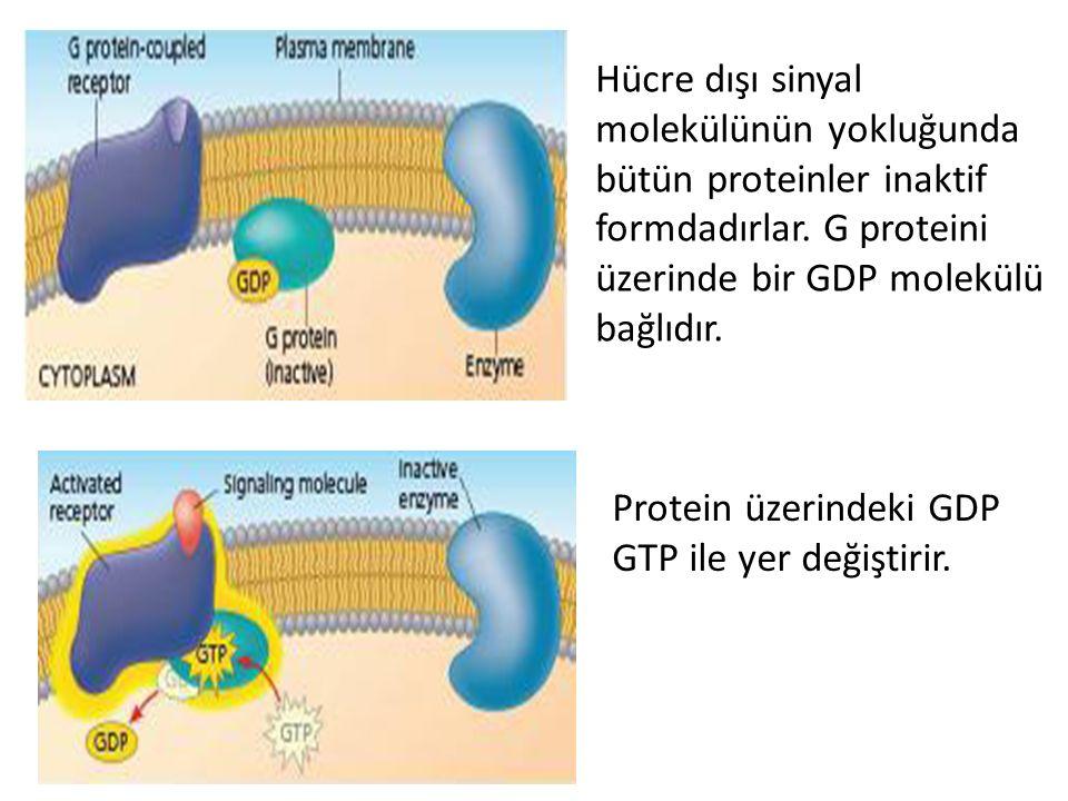Hücre dışı sinyal molekülünün yokluğunda bütün proteinler inaktif formdadırlar. G proteini üzerinde bir GDP molekülü bağlıdır.
