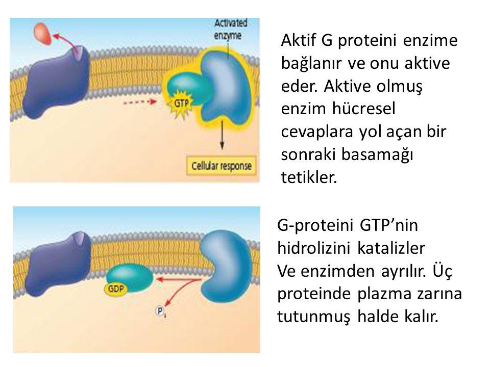 Aktif G proteini enzime bağlanır ve onu aktive eder