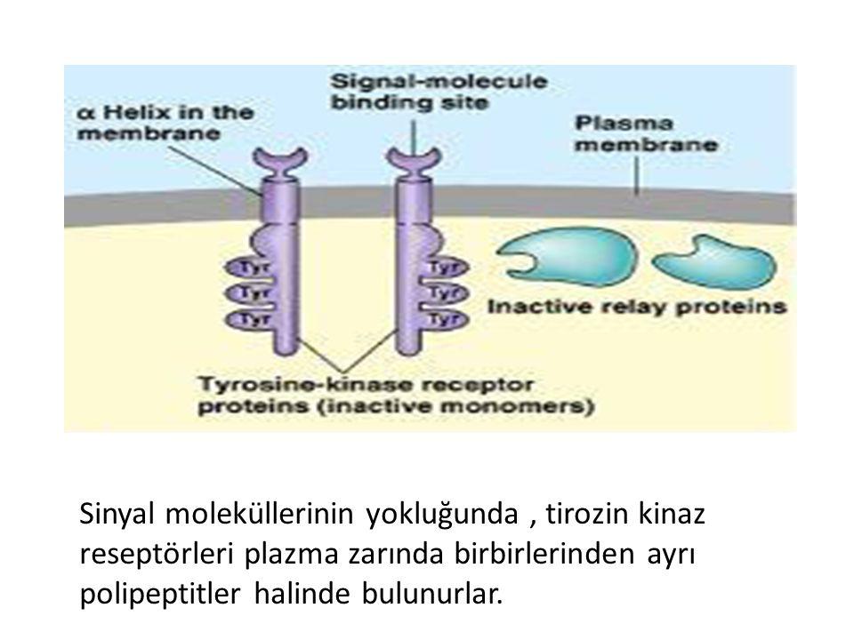 Sinyal moleküllerinin yokluğunda , tirozin kinaz reseptörleri plazma zarında birbirlerinden ayrı polipeptitler halinde bulunurlar.