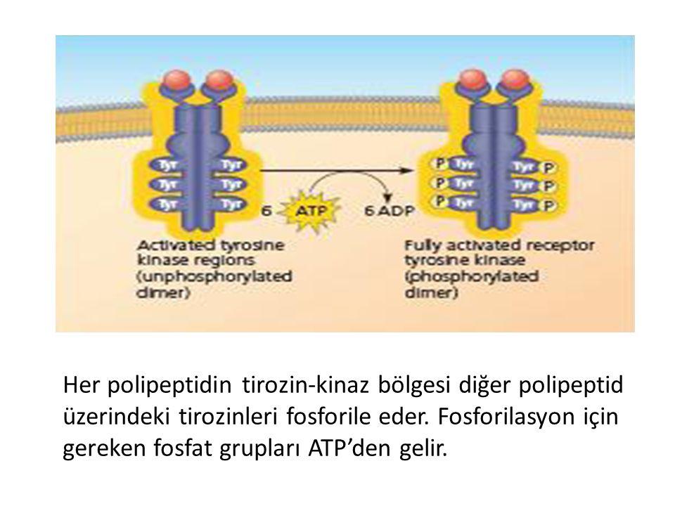 Her polipeptidin tirozin-kinaz bölgesi diğer polipeptid üzerindeki tirozinleri fosforile eder.