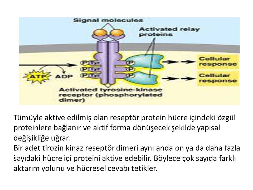 Tümüyle aktive edilmiş olan reseptör protein hücre içindeki özgül proteinlere bağlanır ve aktif forma dönüşecek şekilde yapısal değişikliğe uğrar.