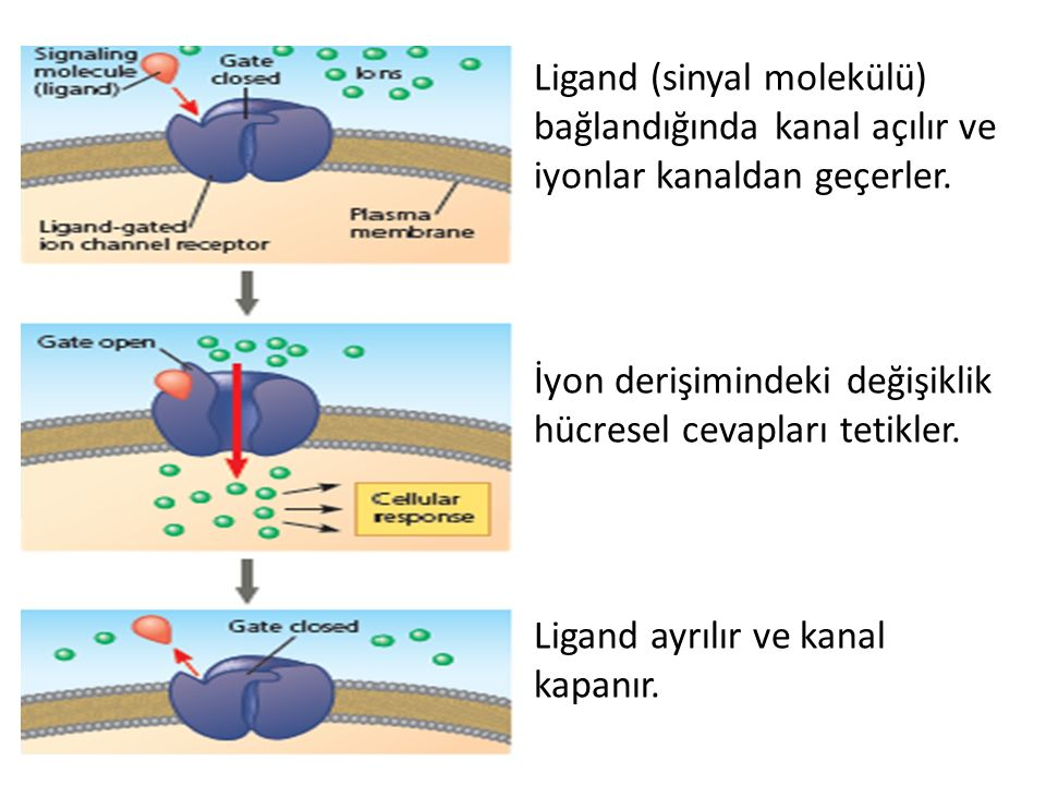 Ligand (sinyal molekülü) bağlandığında kanal açılır ve iyonlar kanaldan geçerler.