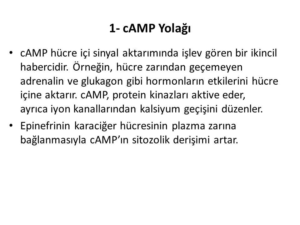 1- cAMP Yolağı