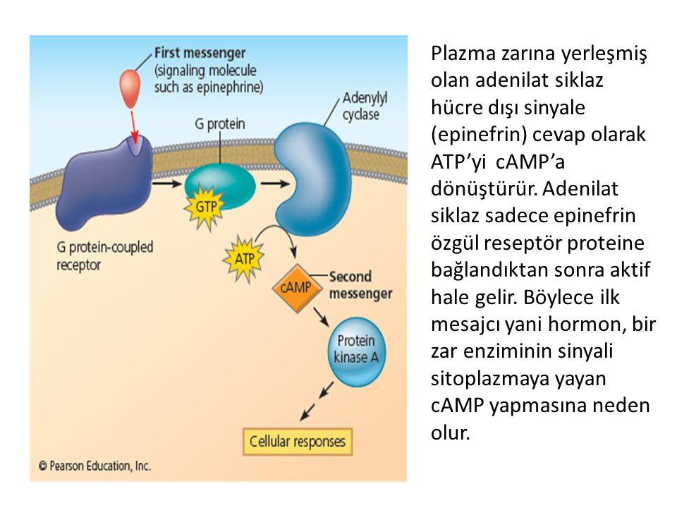 Plazma zarına yerleşmiş olan adenilat siklaz hücre dışı sinyale (epinefrin) cevap olarak ATP'yi cAMP'a dönüştürür.