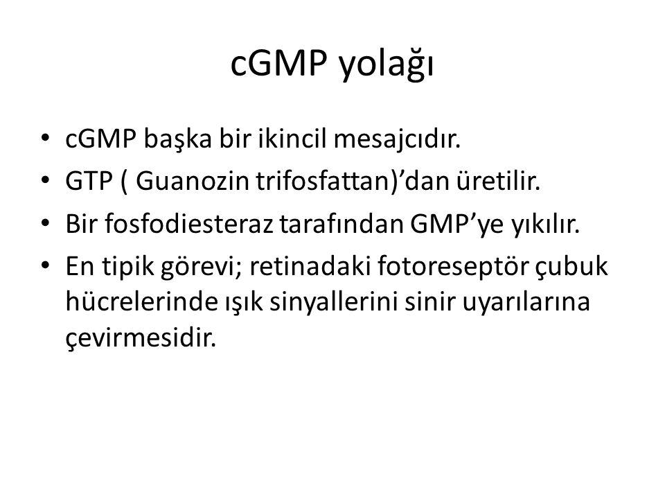 cGMP yolağı cGMP başka bir ikincil mesajcıdır.