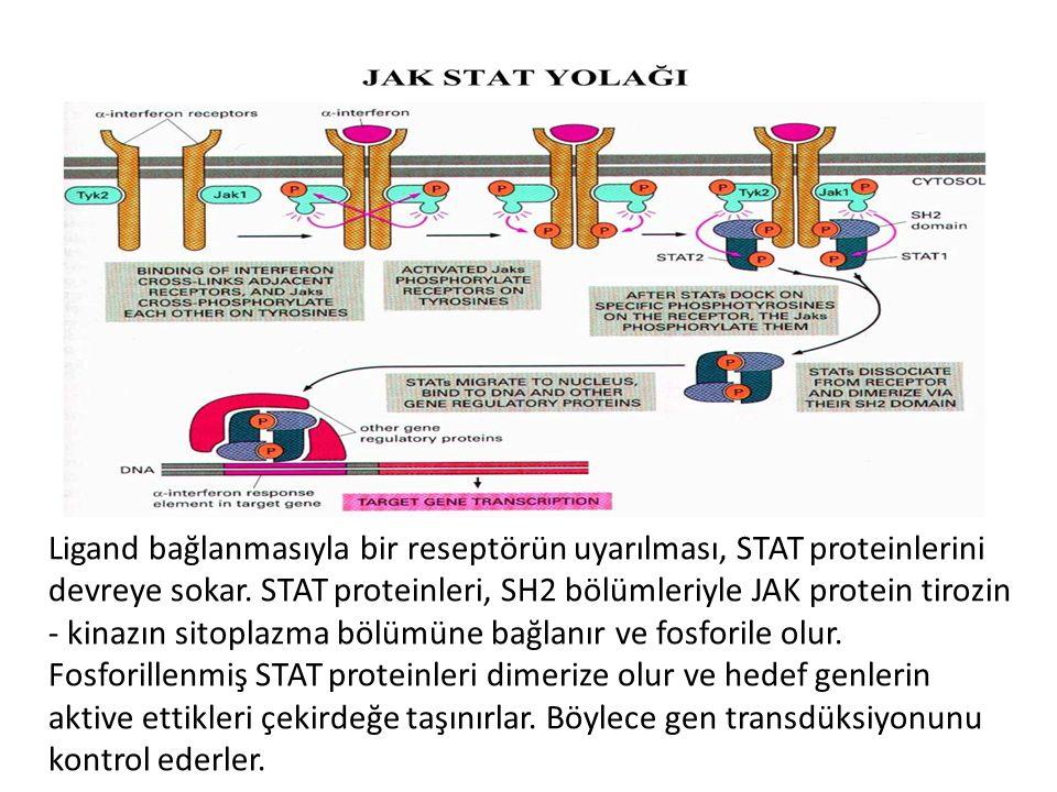 Ligand bağlanmasıyla bir reseptörün uyarılması, STAT proteinlerini devreye sokar.