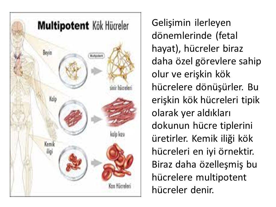 Gelişimin ilerleyen dönemlerinde (fetal hayat), hücreler biraz daha özel görevlere sahip olur ve erişkin kök hücrelere dönüşürler.