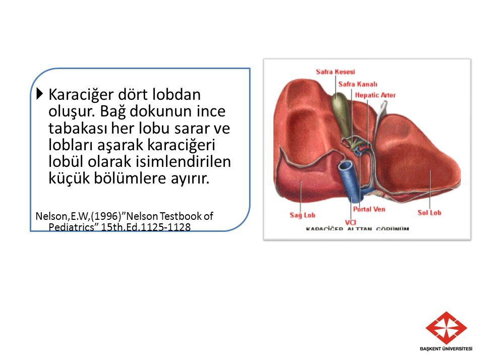 Karaciğer dört lobdan oluşur