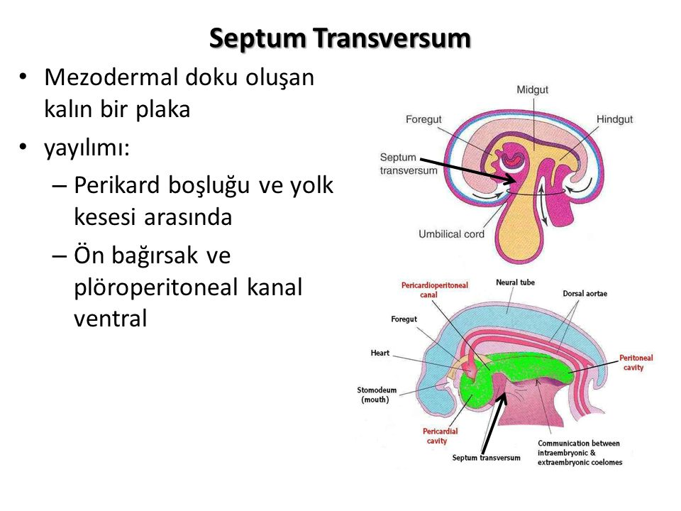 Septum Transversum Mezodermal doku oluşan kalın bir plaka yayılımı: