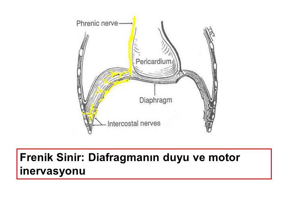 Frenik Sinir: Diafragmanın duyu ve motor inervasyonu