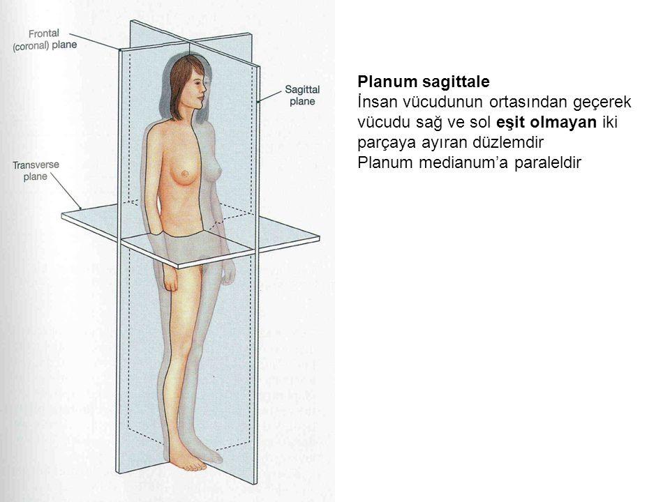 Planum sagittale İnsan vücudunun ortasından geçerek vücudu sağ ve sol eşit olmayan iki parçaya ayıran düzlemdir.