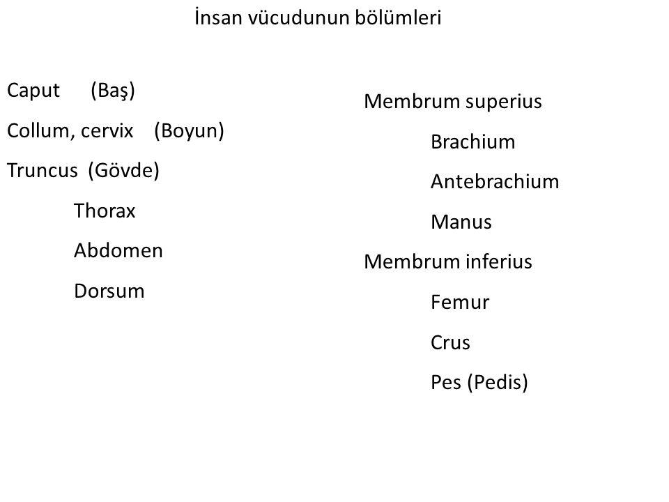 İnsan vücudunun bölümleri