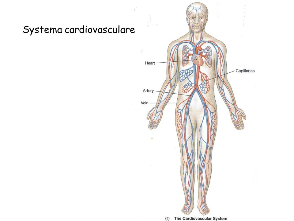 Systema cardiovasculare