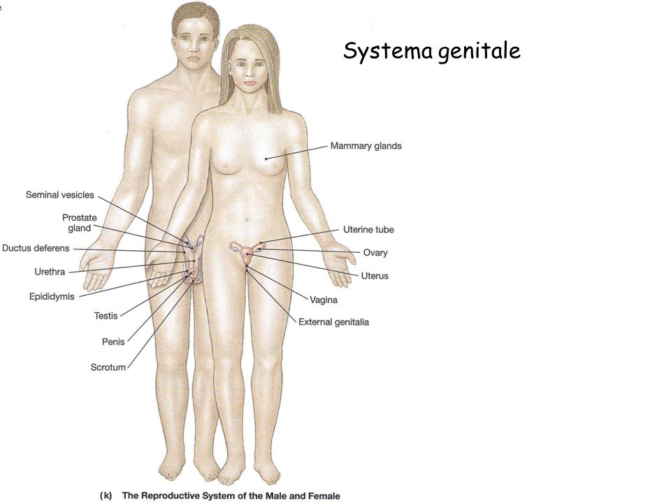 Systema genitale