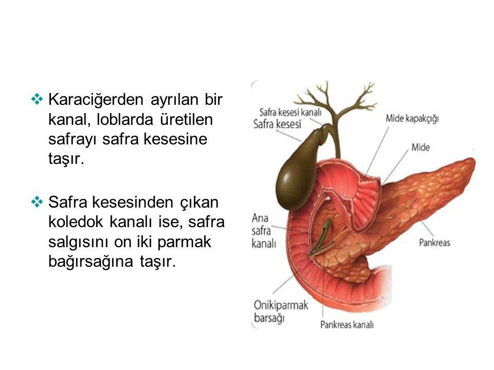 Karaciğerden ayrılan bir kanal, loblarda üretilen safrayı safra kesesine taşır.
